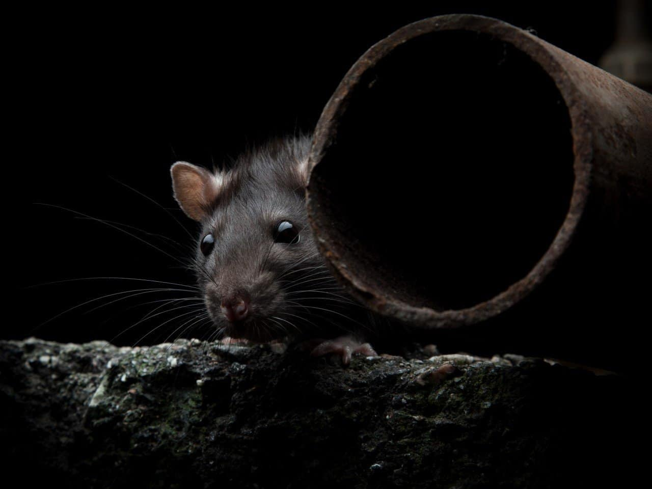 control-de-ratas-ecologico