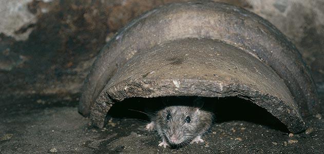 control-de -ratas