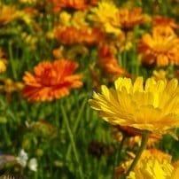 Plantas aromáticas te protegen de las plagas de insectos