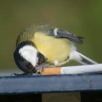 Los pájaros fumigan sus nidos con colillas de cigarro