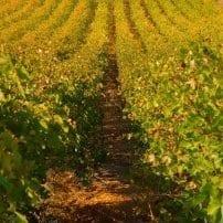 Variedades de vid, una nueva resistencia contra las enfermedades en viñedos