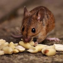 Trucos sencillos para evitar ratones en tu hogar