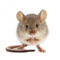 ¿Conoces todas las bacterias que transmite un ratón doméstico?