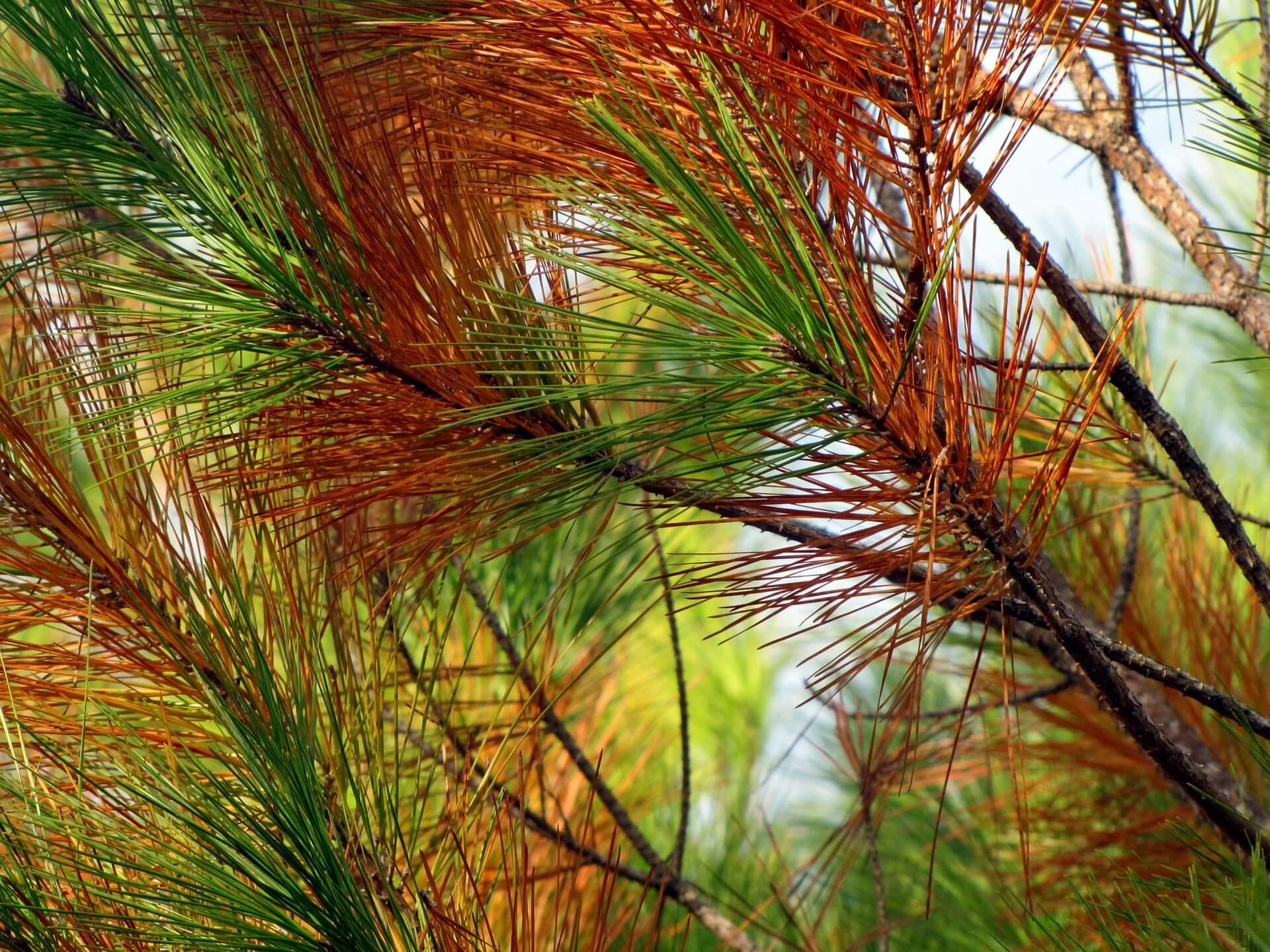 Los pinos vascos se tiñen de marrón por hongos