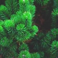 Los pinos españoles en jaque por una plaga