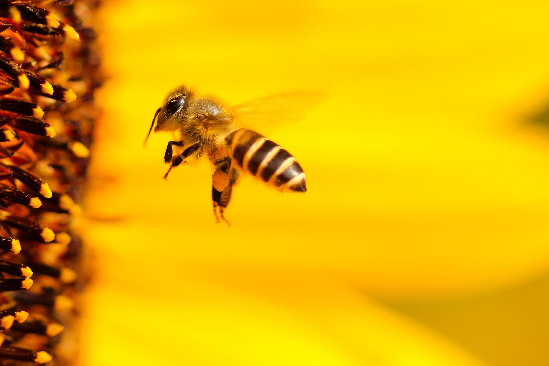 La abeja inglesa al borde de la extinción