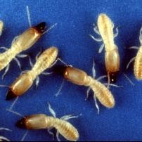 Carcoma, termitas, polillas… ¿Tengo Xilógrafos en casa?