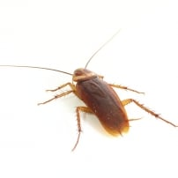 Detectar cucarachas en casa ¿Dónde las busco?