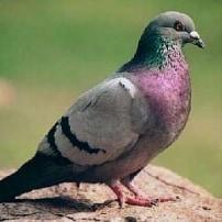 La Paloma urbana, esta ave-plaga difícil de vencer