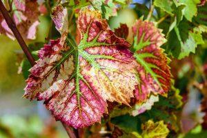 control de plagas en viñedos