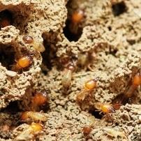 ¿Qué hacer ante una plaga de termitas?