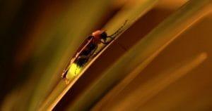 cosas que no sabías de las luciérnagas