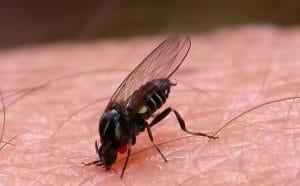 mosca chupasangre