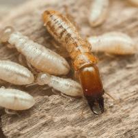Cómo detectar y eliminar las termitas