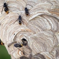 Aconsejan controlar a la avispa asiática antes de la primavera