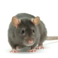 Las ratas en los centros urbanos