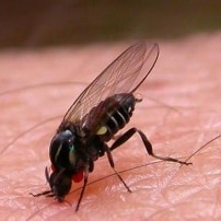 La mosca chupasangre se acerca este verano