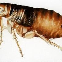 Trucos Caseros contra las picaduras de pulgas