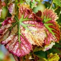 Jornada de asesoramiento en gestión de plagas en los viñedos