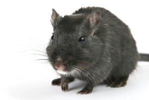 Rata negra en Bilbao