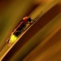 5 cosas que no sabías de las luciérnagas
