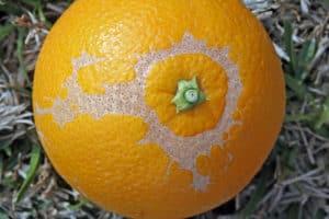Trips en naranja