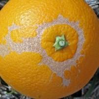 Qué plagas atacan a los naranjos