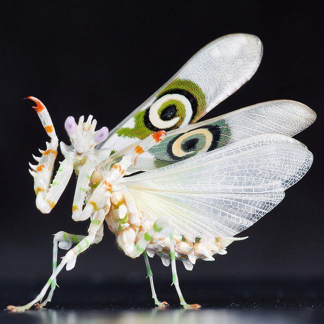 Mantis-flor-Pseudocreobotra-wahlbergii