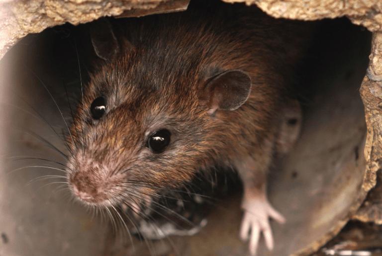 10 curiosidades sobre las ratas en Bilbao