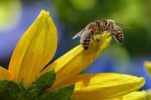 abejas raras