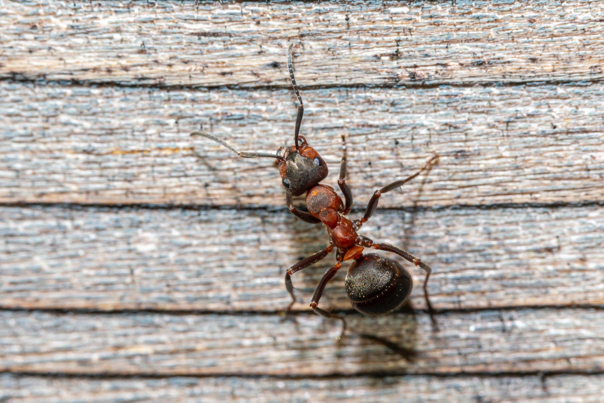 curiosidades-sobre-las-hormigas