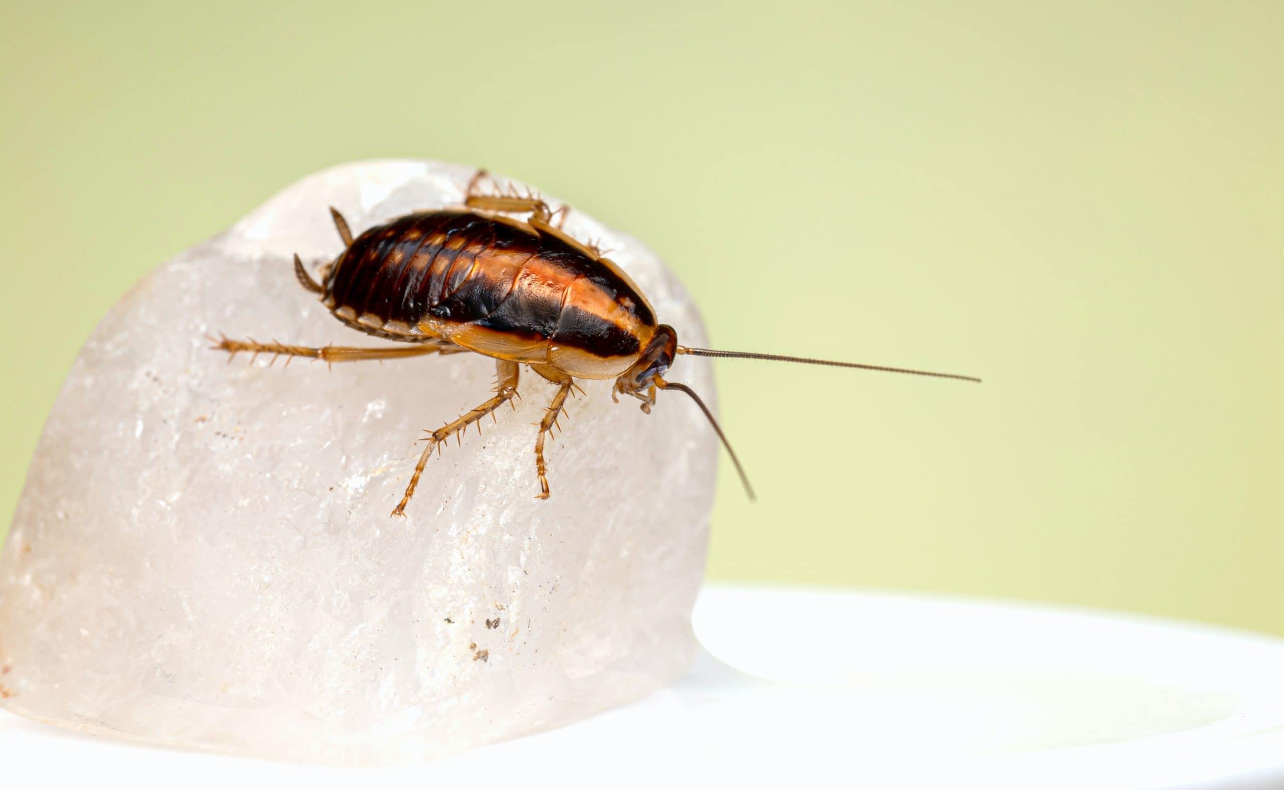 curiosidades-sobre-las-cucarachas