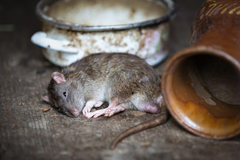 las ratas no sean las culpables de la peste negra