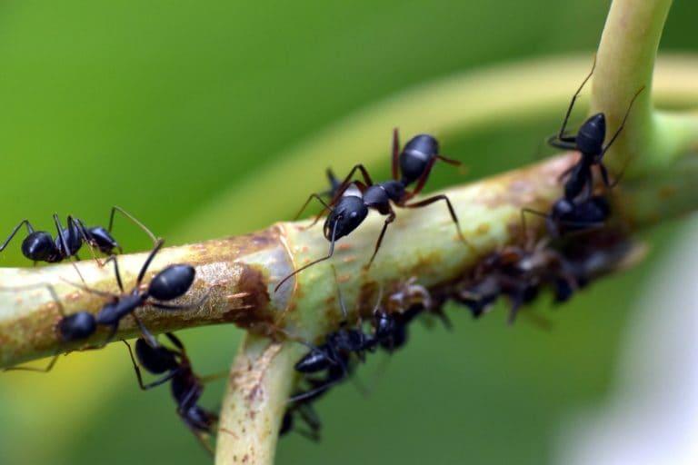 La diferencia entre plagas de hormigas de interiores y exteriores